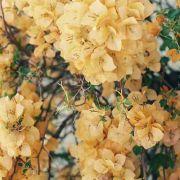 Muda de Primavera Amarela - Bouganville
