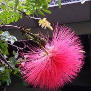 Muda da Flor Caliandra Rosa
