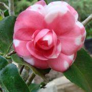 Muda da Flor Camélia Mesclada