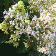 Muda da Flor Clerodendro Fragrans