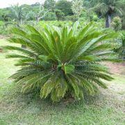 Muda da Palmeira Cica - Cycas Revoluta