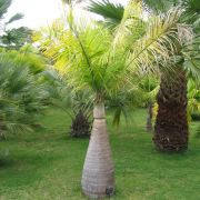 Muda da Palmeira Fuso - Hyophorbe Verschaffeltii