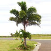 Muda da Palmeira Rabo de Raposa Pequena - Wodyetia Bifurcata