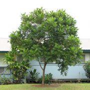 Muda de Árvore Samambaia