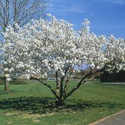 Muda de Cerejeira Japonesa Sakura Branca de Flor Dobrada