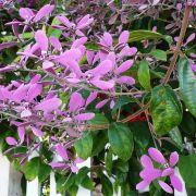 Muda de Congéia - Congea Tormentosa - Flor Trepadeira