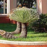 Muda de Dasilirio - Rabo de Dragão - Dasylirion acrotrichum