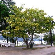 Muda de Eritrina Verde e Amarela Brasileirinha com 1 metro - Erythrina Indica Picta