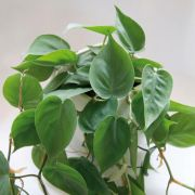 Muda de Filodendro - Philodendron hederaceum