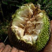 Muda De Fruta Pão - Breadfruit - Artocarpus Camansi