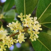 Muda de Jasmim do Imperador - Osmanthus Fragrans
