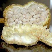 Muda de Marangue, Marang ou Terap - Artocarpus Odoratissima