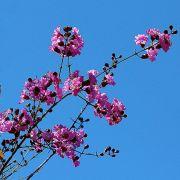 Muda de Pau de Rosas - Physocalymma Scaberrimum