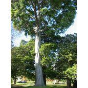 Muda de Pinheiro Kauri ou Pinheiro Australiano com 2 metros