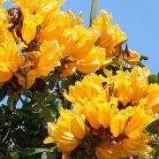 Muda de Tulipeira Spatodea Amarela - Enxertada - Spathodea Campanulata