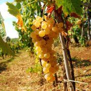 Muda de Uva Moscato Branca para Vinhos- Enxertada