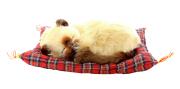 Pelúcia Tan Siamese 20cm - Mini Petzzz