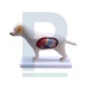 Modelo Anatômico de Cachorro