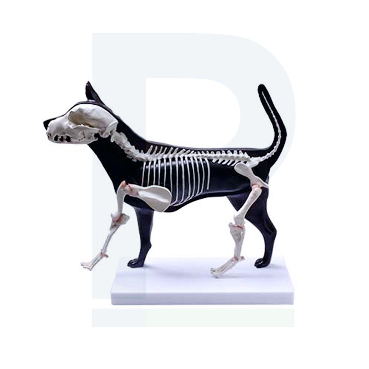 Modelo Anatômico com Esqueleto de Cachorro