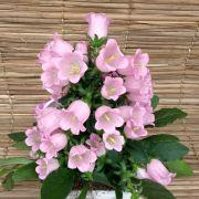 Campânula cor de rosa no cachepô