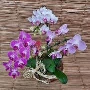 Conjunto com 3 orquídeas Phalaenopsis 1H Híbrida