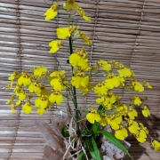 Orquídea Chuva de Ouro no cachepô