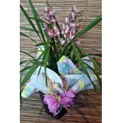 Orquídea Cymbidium Rosa 3 Haste no cachepô ratan