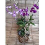 Orquídea Denfal Dual no cachepô