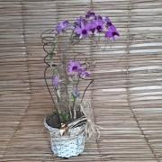 Orquídea Denfal no cachepô