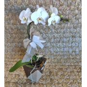 Orquídea Phalaenopsis 1H Branca