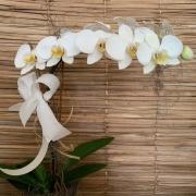 Orquídea Phalaenopsis 1H no cachepô