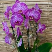 Orquídea Phalaenopsis  20050804 no cachepô