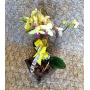 Orquídea Phalaenopsis 2H Hibrida no cachepô 0002 0895 002