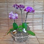 Orquídea Phalaenopsis Trio 1H Hibrida no cachepô redondo