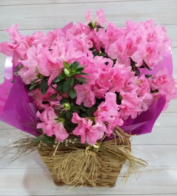 Azaleia pink no cachepô pt-20