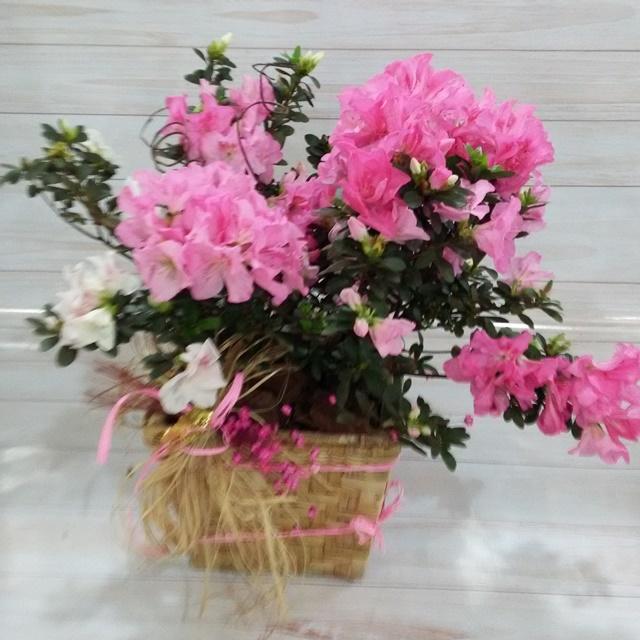 Azaleia rosa no cachepô pt-20