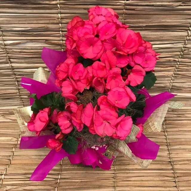 Begônia pink encantada