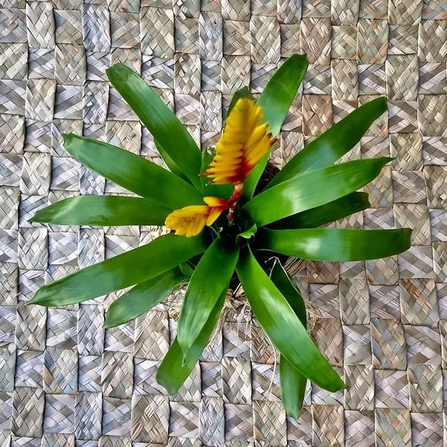 Bromélia no cachepô