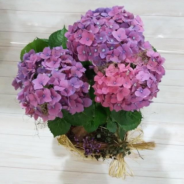 Hortência lilas pote 20 no cachepô