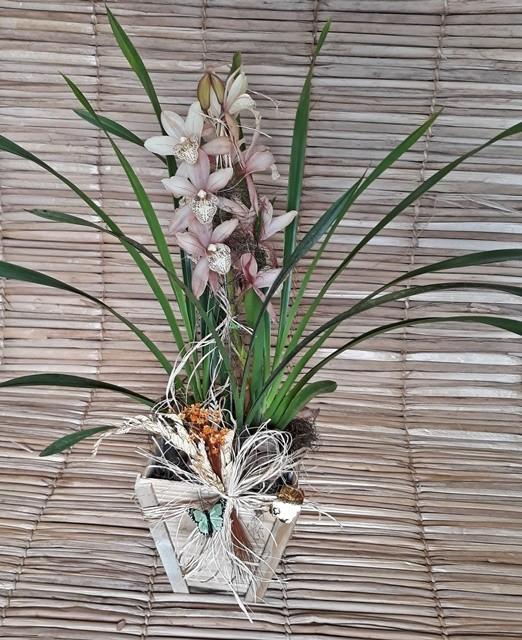 Orquídea Cymbidium Marrom 1 haste no cachepô