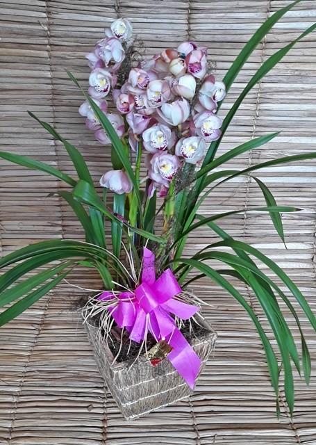 Orquídea Cymbidium Rosa 4 haste no cachepô 180505001