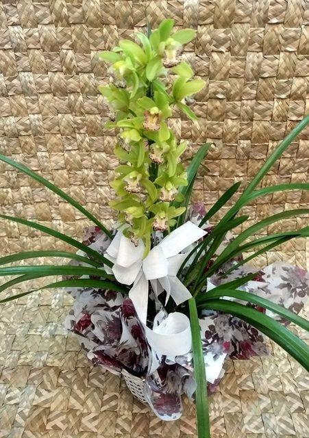 Orquídea Cymbidium verde 1 haste