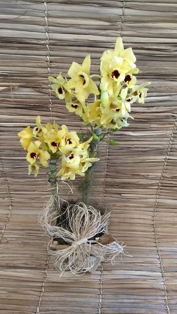 Orquídea Dendrobium Amarela 2 H pote-15 no cachepô