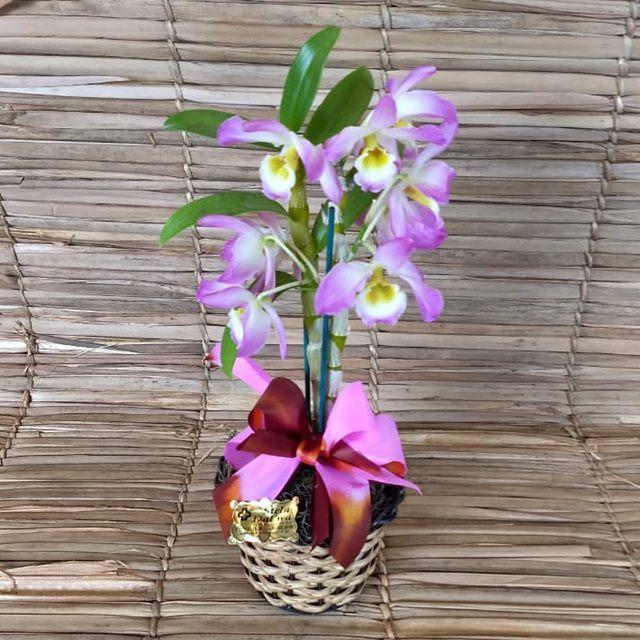 Orquídea Dendrobium PT-11 no cachepô