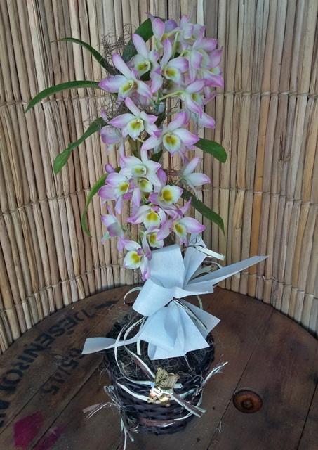 Orquídea Dendrobium rosa pote-15 no cachepô