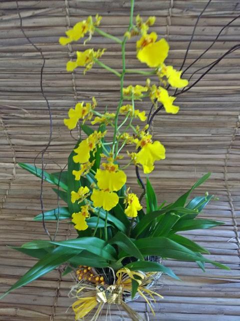 Orquídea Oncidium PT-11 no cachepô