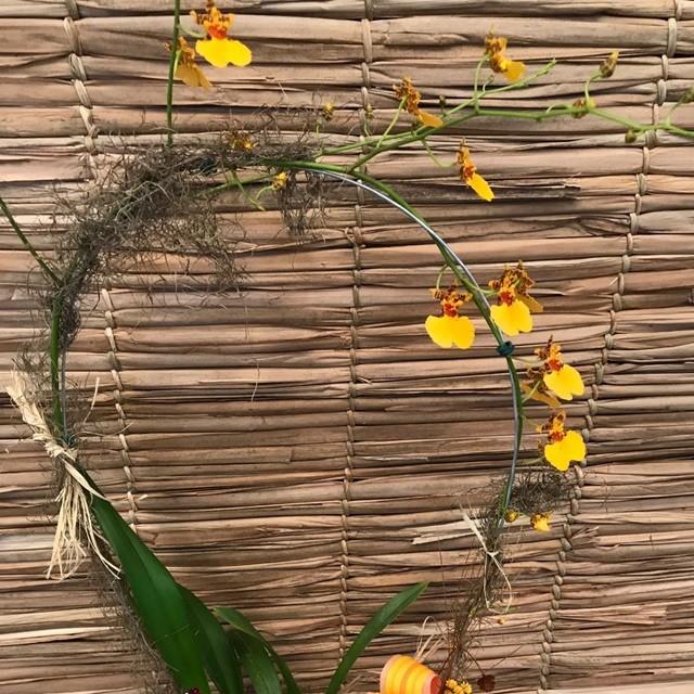 Orquídea Oncidium PT-15 no cachepô Laranja