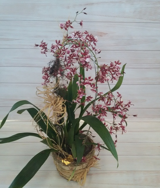 "Orquídea Oncidium Sharry Baby ""chocolate"" no cachepô"