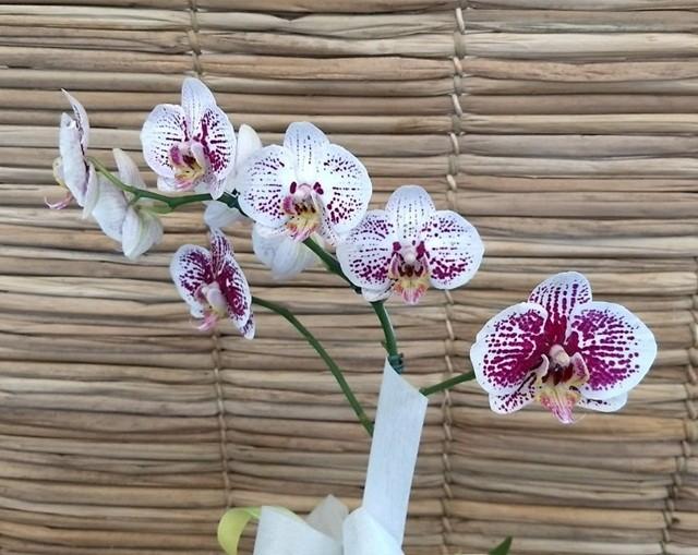 Orquídea Phalaenopsis 1H branca pinta roxa no cachepô