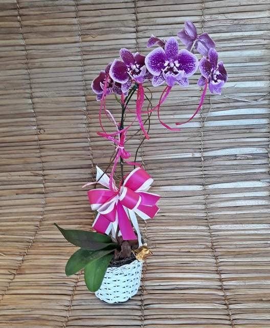 Orquídea Phalaenopsis 1H Hibrida 180503002 no cachepô